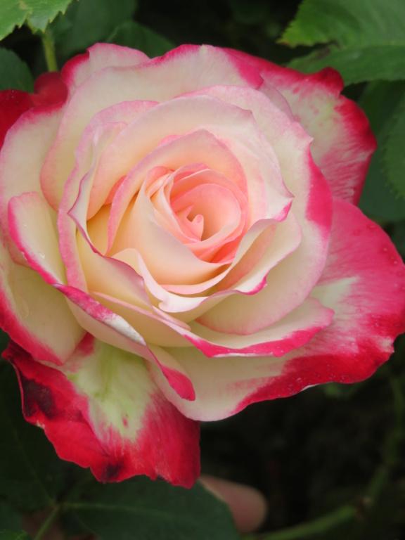 Jardin 2019 ! - Page 4 Rose_j10