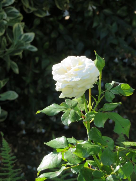 Jardin 2019 ! - Page 6 Rose_l10