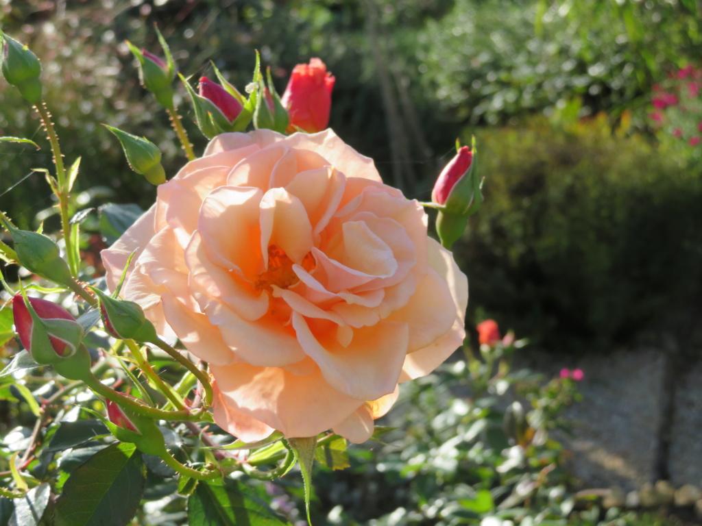 Jardin 2019 ! - Page 7 Rose_m14
