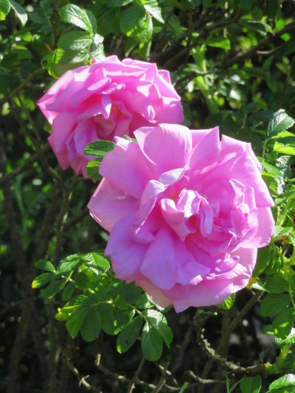 Jardin 2020 ! - Page 5 Rose_m18