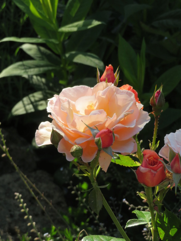 Jardin 2020 ! - Page 7 Rose_m19