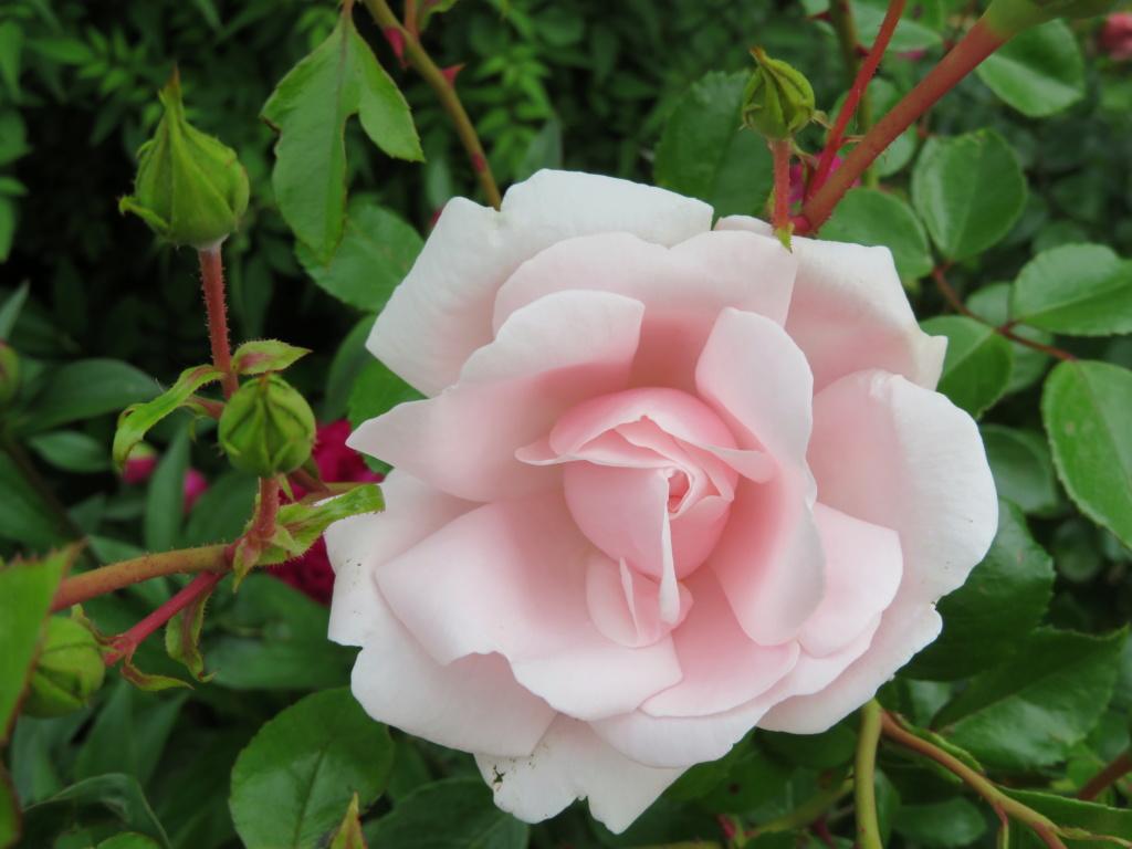 Jardin 2019 ! - Page 4 Rose_p10