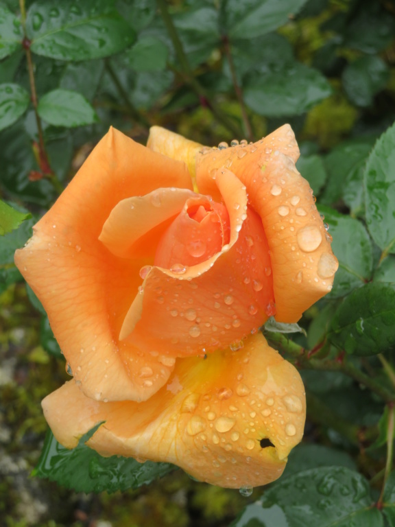 Jardin 2020 ! - Page 5 Rose_p16
