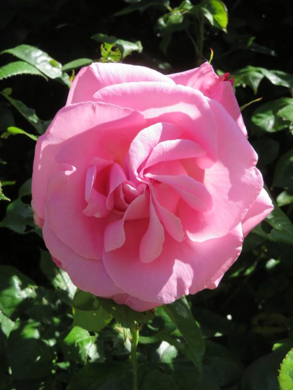 jumadette Rose_q10