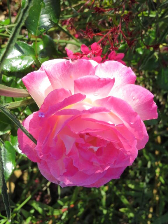 Jardin 2019 ! - Page 7 Rose_s13
