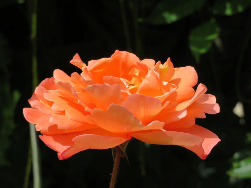 Jardin 2019 ! - Page 5 Rose_w10