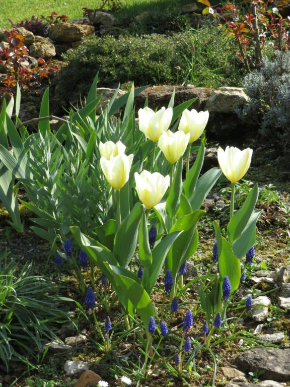 Jardin 2019 ! Tulipe10