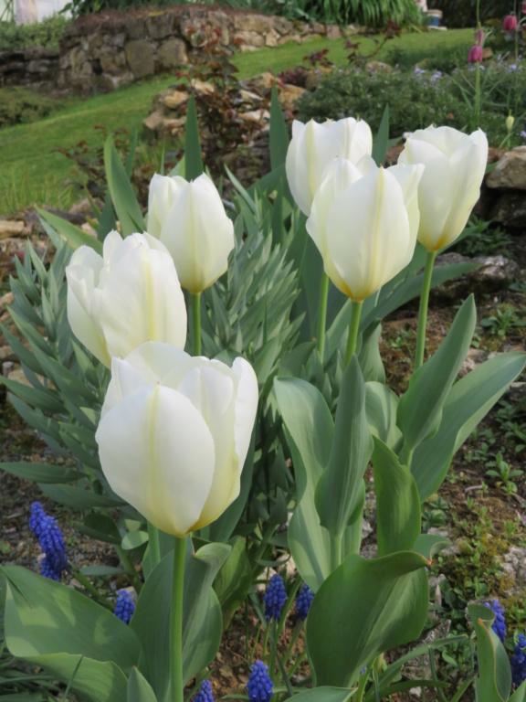Jardin 2019 ! - Page 2 Tulipe11