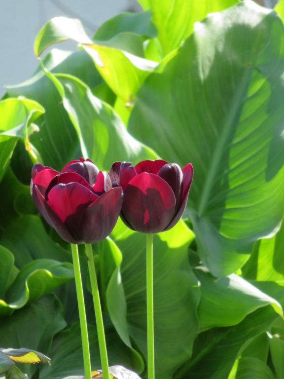 Jardin 2019 ! - Page 2 Tulipe12