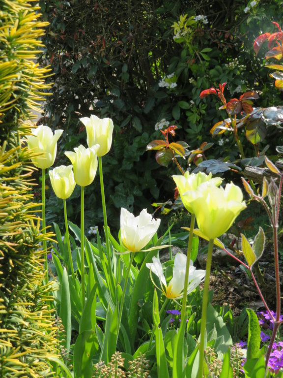 Jardin 2019 ! - Page 2 Tulipe13
