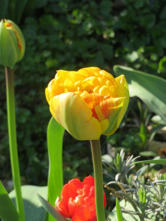 Jardin 2020 ! - Page 2 Tulipe15
