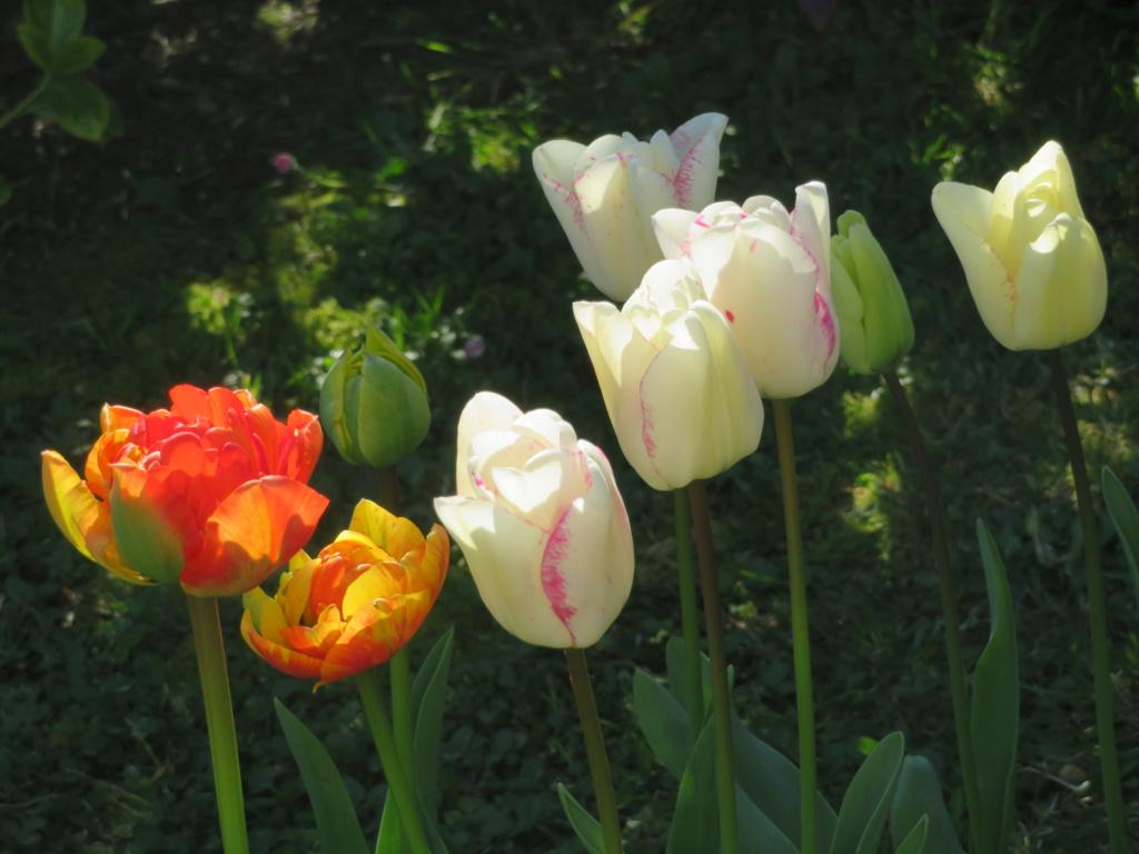 Jardin 2020 ! - Page 3 Tulipe16