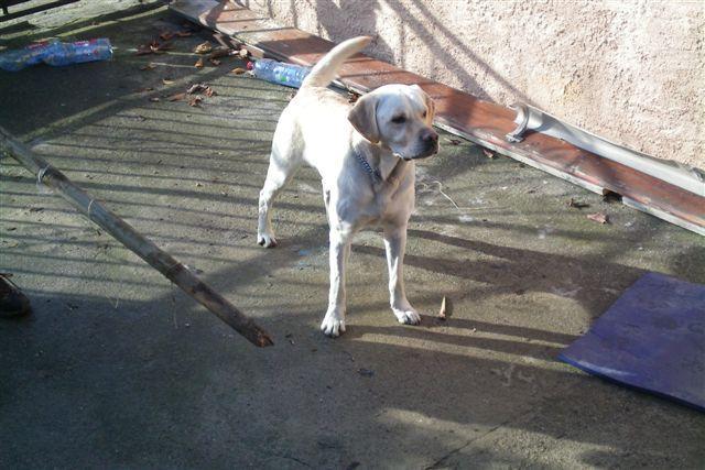 Labrador cherche famille Atos10