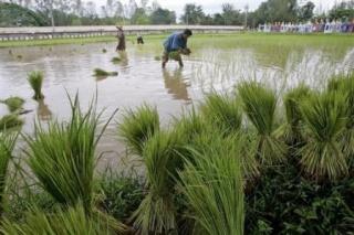 Riz Laos-p10