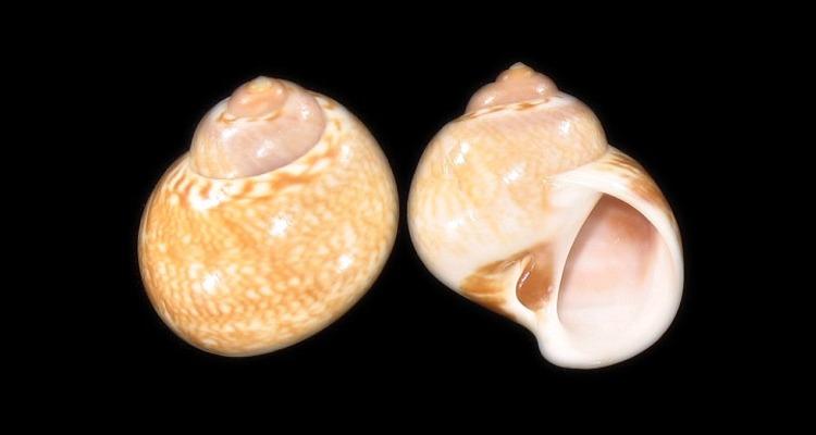 Gasteropode de Bretagne Sud 00677310