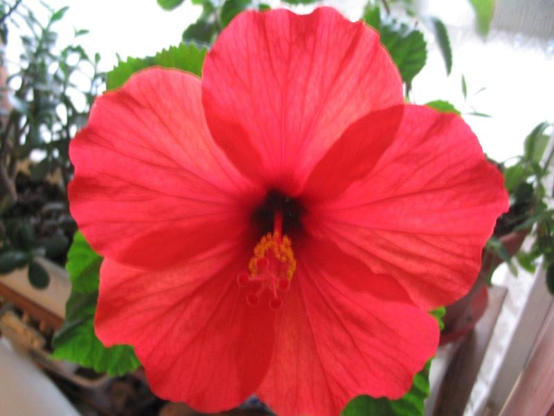 Hibiscus Hibisc10