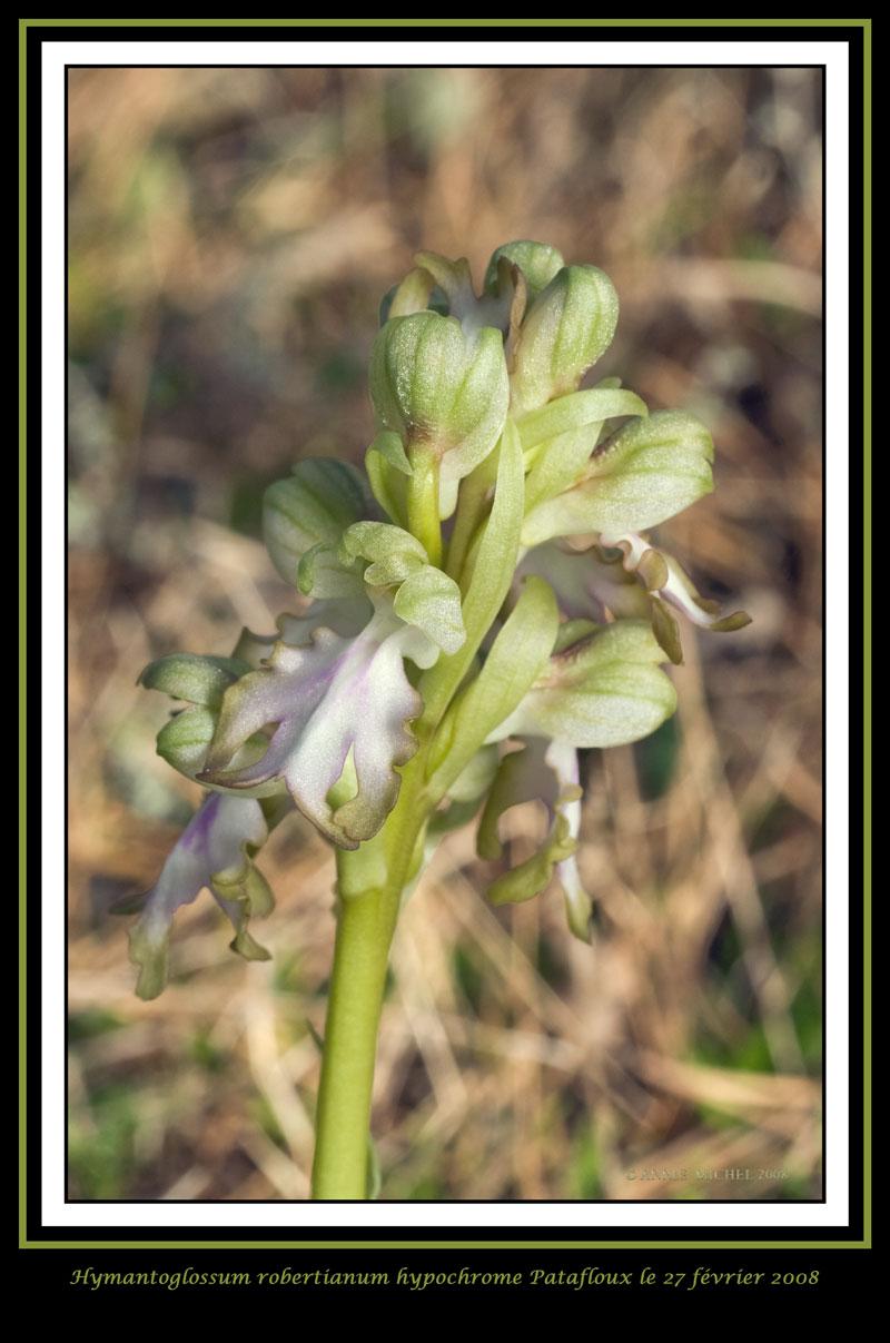 Himantoglossum robertianum (Barlia, Orchis géant ) 20080210