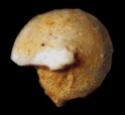 Foraminifères et Diatomées 00710