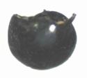 Foraminifères et Diatomées 029a_p10