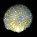 Foraminifères et Diatomées 08511