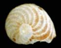 Foraminifères et Diatomées Leogna10