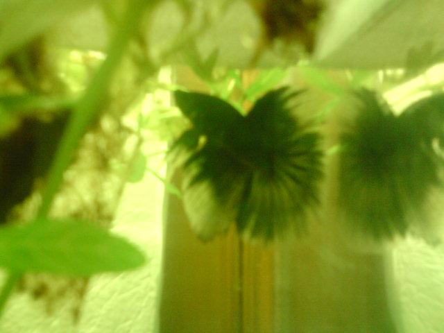 repro HM : mâle bleu papillon et femelle bleu Dsc00517