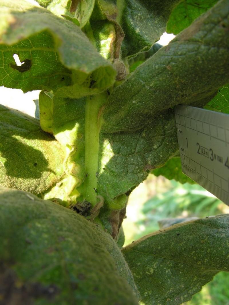 Bouillon Blanc, Verbascum thapsus 16-10-10