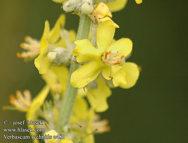 Bouillon Blanc, Verbascum thapsus Verbas10