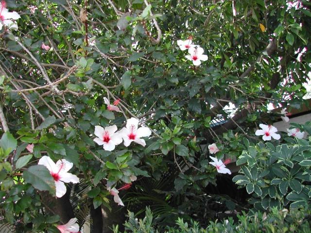 Hibiscus à Lisbonne Dscn8710