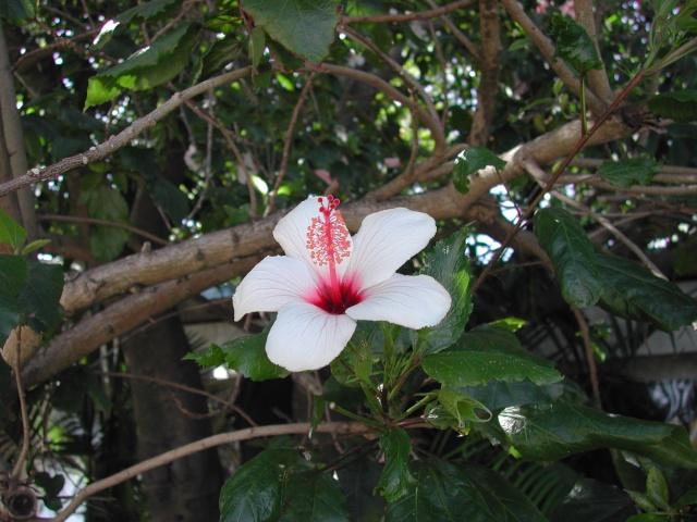 Hibiscus à Lisbonne Dscn8711