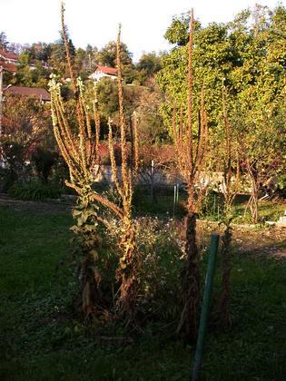 Bouillon Blanc, Verbascum thapsus - Page 2 Molene11