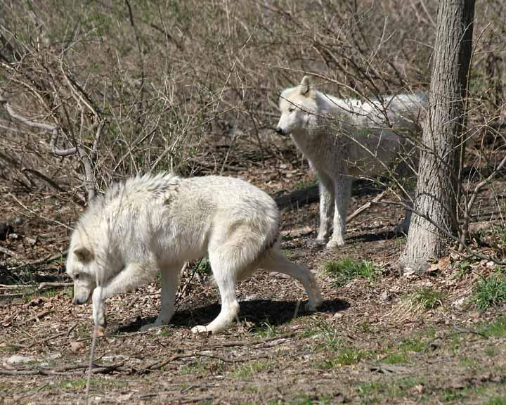 Centre de conservation des loups - Hélène Grimaud (réponse défi) 42375910