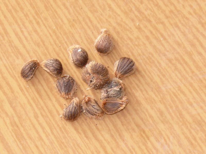 CATALPA    thespesia populnea P1010513