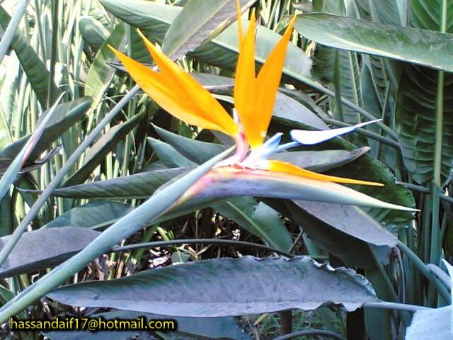 نبات عصفور الجنة 3sfoor10