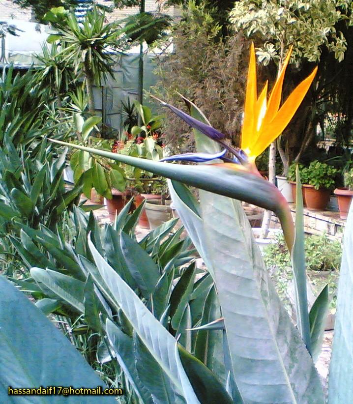 نبات عصفور الجنة 3sfoor11