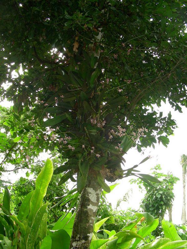 Orchidee dans un arbre Dscn4211