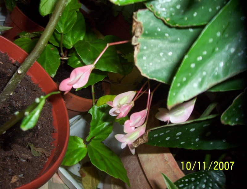 begonias Photo_10
