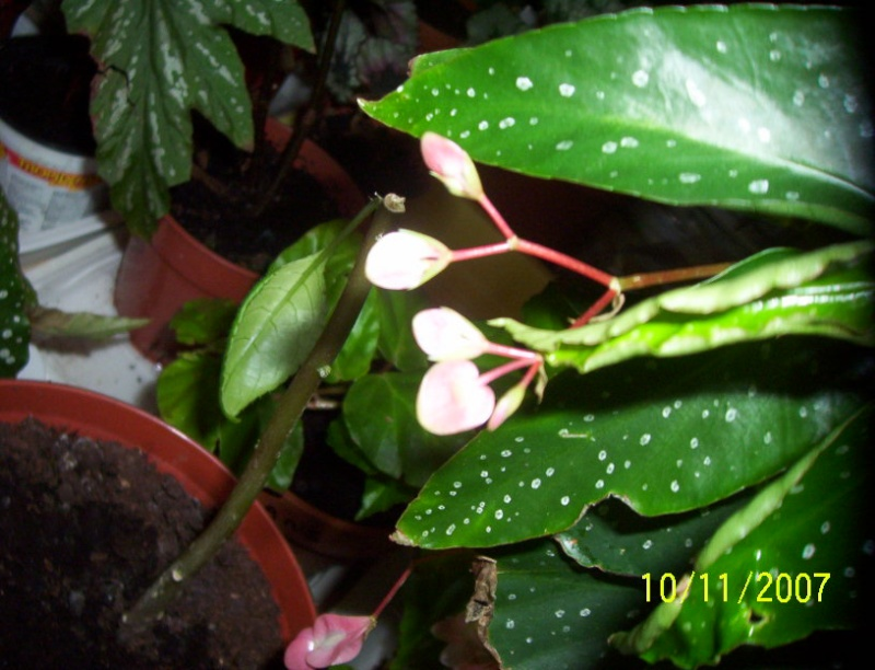 begonias Photo_11