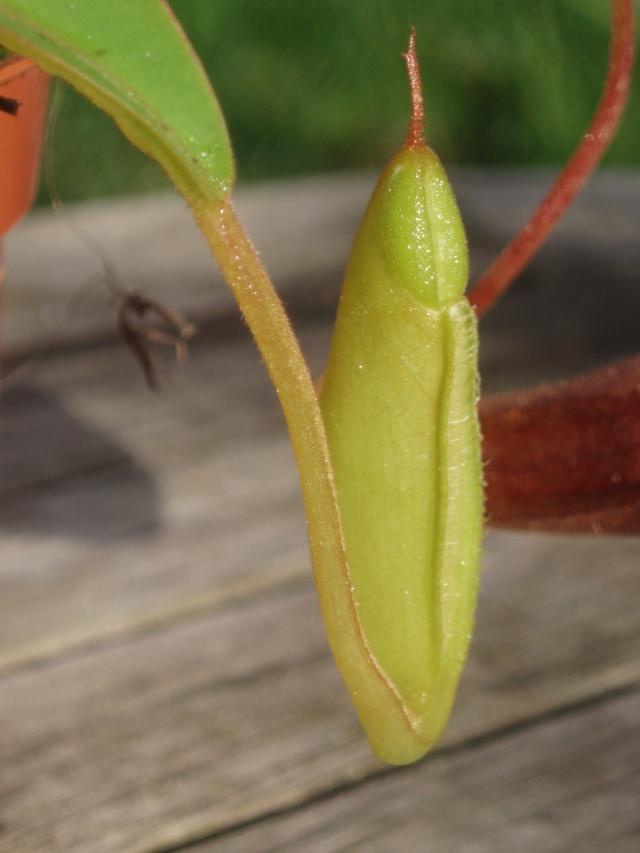 Mon premier Nepenthes Highland! mon Nepenthes sanguinaea :) Pb091013