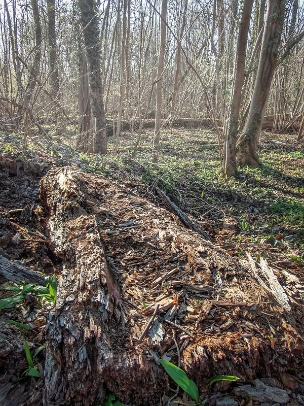 Pourriture et renaissance dans la forêt rhénane. (+ couleur) 51118710