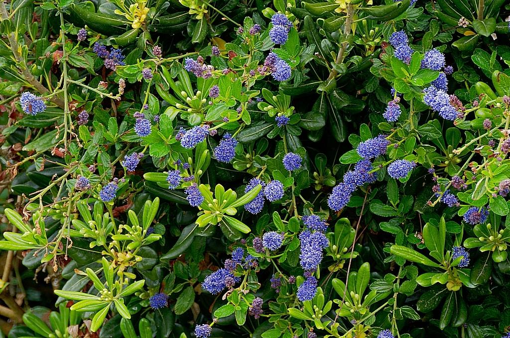Céanothe blue ! Dsc_0252