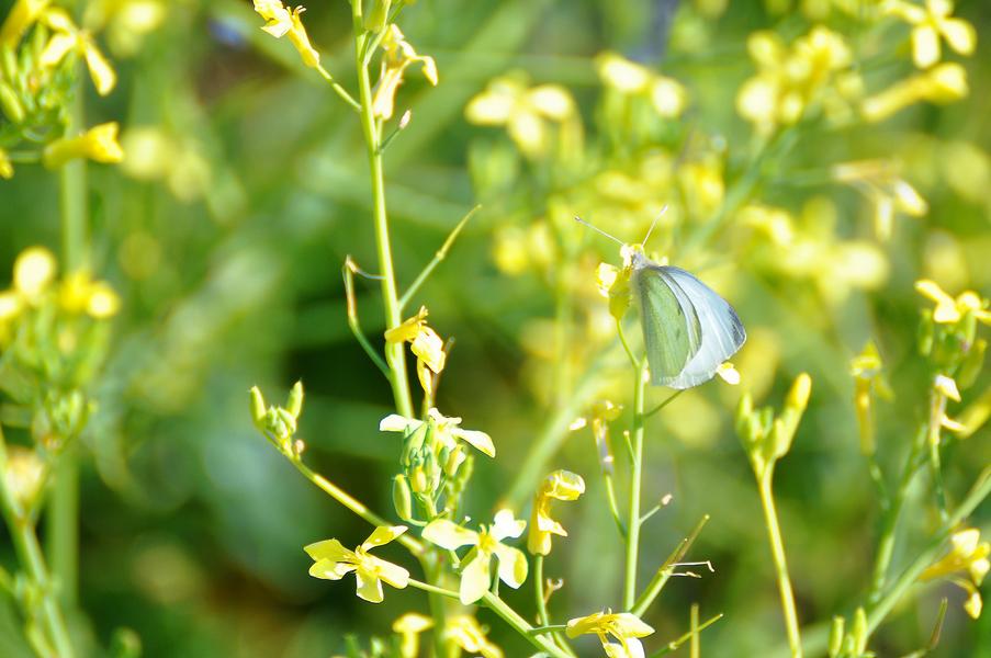 Papillon blanc ! Dsc_0259