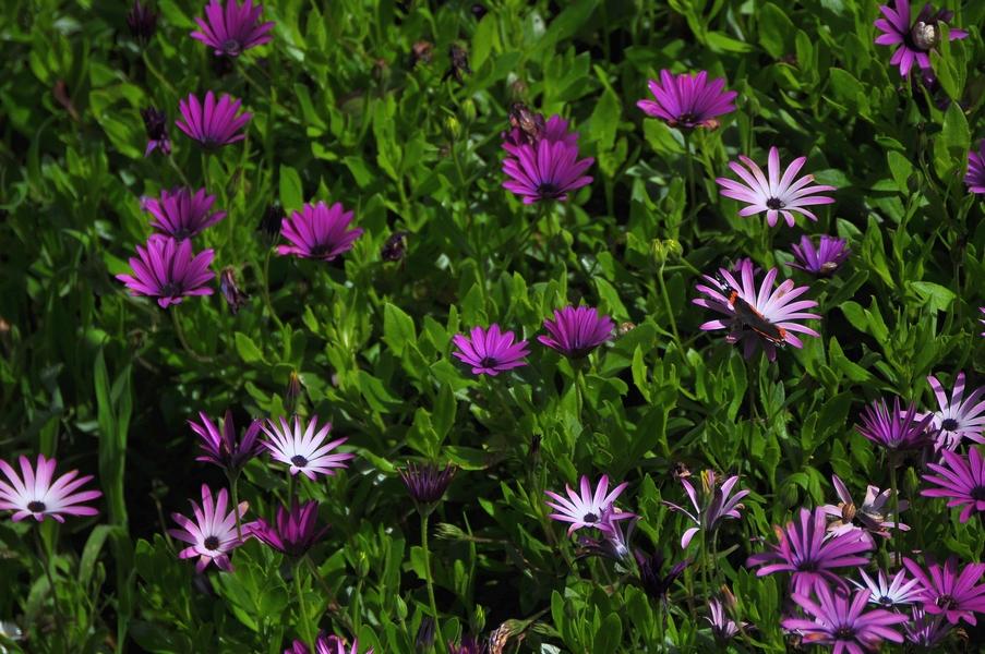 Papillon Osteospermum ou suis-je !!! Dsc_0268