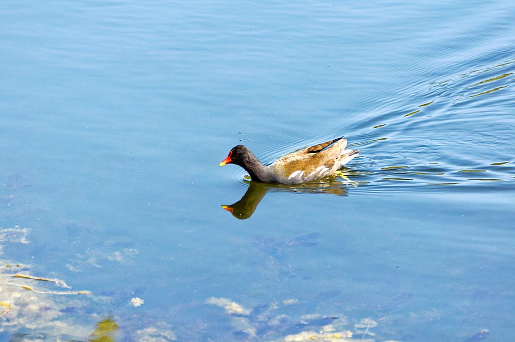 Poule d'eau  ! Dsc_0287
