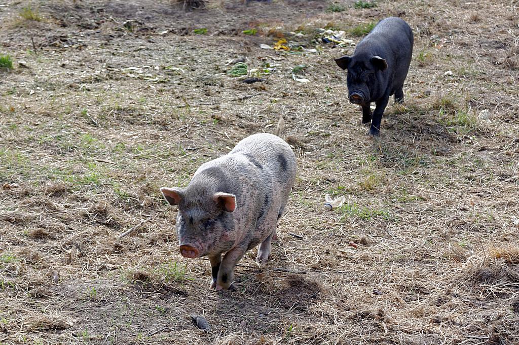 Copains comme cochons Dsc_0307