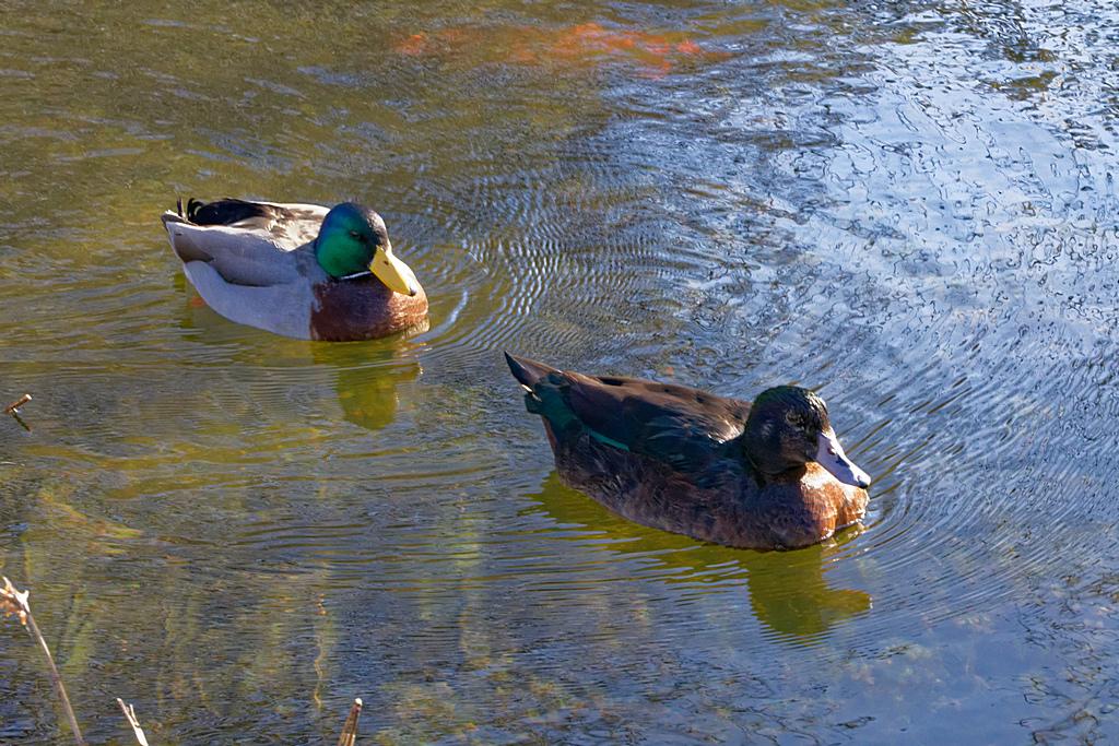 Canard et cane ! Dsc_0323
