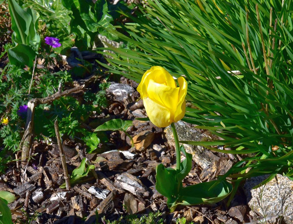 Tulipe jaune ! Dsc_0923