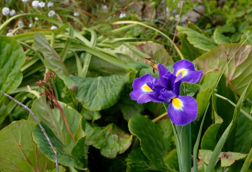 Iris  Dsc_0935