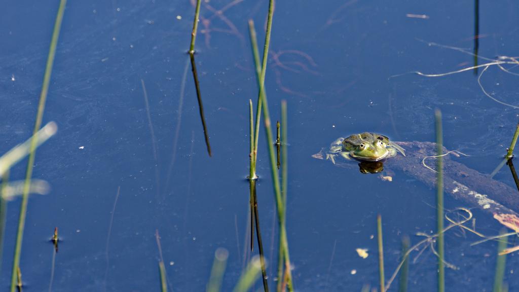 Première grenouille et elle a bien voulu posée ! Dsc_1036