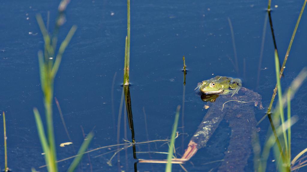 Première grenouille et elle a bien voulu posée ! Dsc_1037